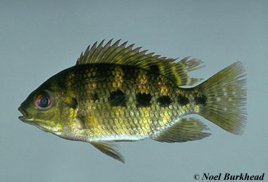 Spotted tilapia. Photo © Noel Burkhead