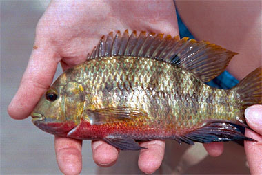 Spotted tilapia have produced hybrid offspring with the redbelly tilapia shown above. Photo courtesy Jan Hoover, USCOE, Waterways Experiment Station