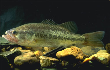 Largemouth bass (Micropterus salmoides) are predators of the spotted tilapia in south Florida. Photo courtesy U.S. Department of Agriculture