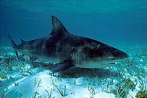 Bull shark. Photo © Doug Perrine