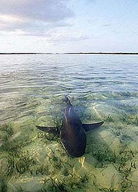 Lemon shark on grass flats where permit feed. Photo © Doug Perrine