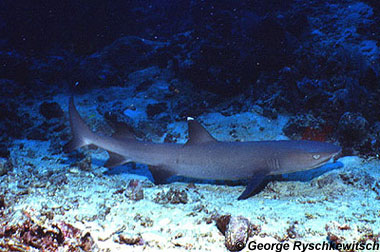 Whitetip reef shark. Photo © George Ryschkewitsch