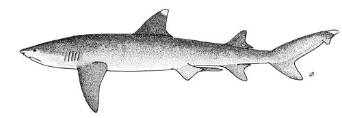 Whitetip reef shark. Illustration courtesy FAO Species Catalog, Vol. 4 Part 2 Sharks of the World