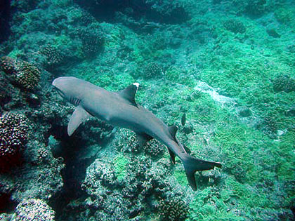 Whitetip reef shark cruising coral reef waters. Photo courtesy NOAA