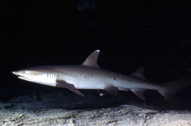 The whitetip reef shark feeds during the night on benthic prey. Photo © George Ryschkewitsch