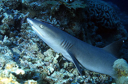 Whitetip reef shark in waters off the coast of Borneo. Photo © George Ryschkewitsch