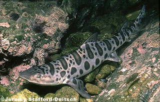 Leopard Shark. Photo © Jeremy Stafford-Deitsch