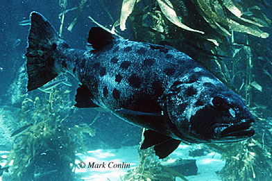 Black sea bass are known predators of the round stingray. Photo © Mark Conlin