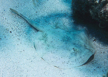 Yellow stingray partially buried in the sandy substrate. Photo © Luiz Rocha