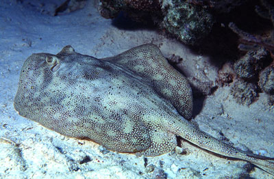 Yellow stingray grows to 26 inches in length. Photo © George Ryschkewitsch