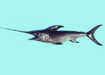 Juvenile swordfish. Photo © George Burgess