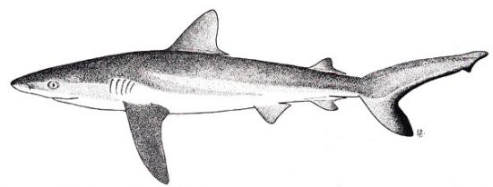 Grey reef shark. Image courtesy FAO Species Catalogue, Vol. 4 - Sharks of the World