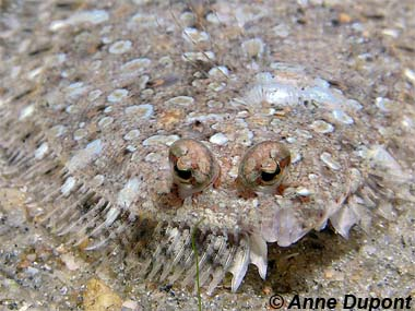 Eyed flounder. Photo © Anne DuPont