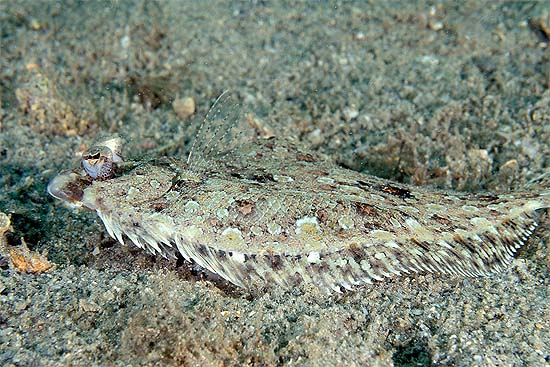 Eyed flounders have the ability to change coloration to assist in camouflage. Photo © Joe Marino