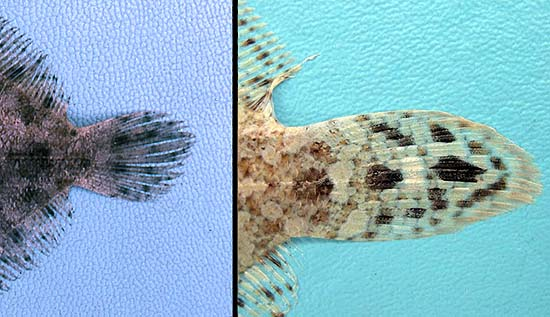The eyed flounder can be distinguished from the twospot flounder by the arrangement of spots on the caudal fin: the eyed flounder caudal fin spots are located one above the other (left) while the twospot flounder caudal fin spots are located one anterior to the other (right). Photos © George Burgess
