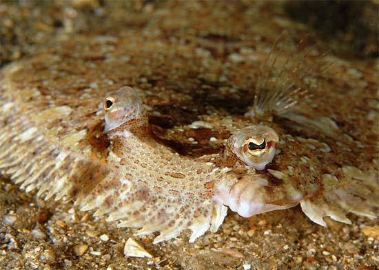 Eyed flounder up close. Photo © Kirk Kilfoyle