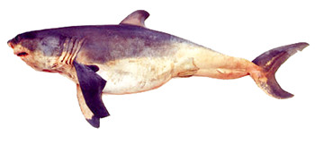 This 1449 mm (4 ft. 9 in.) total length female white shark (Carcharodon carcharias) embryo was one of seven full-term pups found in a 5.36 m (17 ft. 7 in.) pregnant female captured at North Cape, New Zealand, on November 13, 1991. The very distended belly is characteristic of embryonic sharks that engage in oophagy, the practice of eating their mother's eggs while in the uterus.