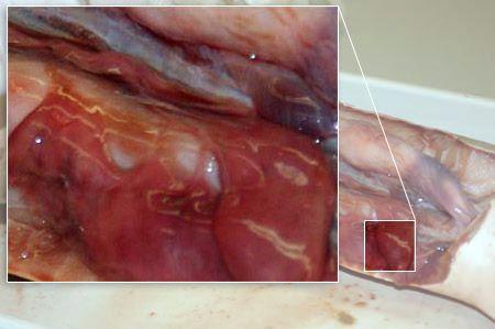 Close up: epigonal tissue.