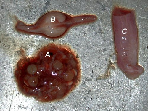 Female reproductive organs of a shark A. ovaries, B. nidamental, C. uterus | © Florida Museum