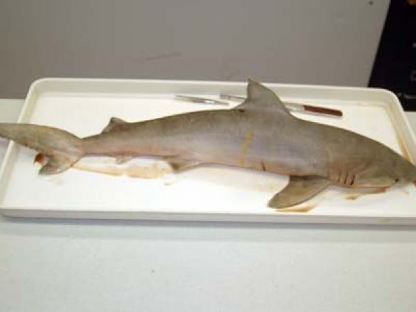 Shark Dissection Discover Fishes