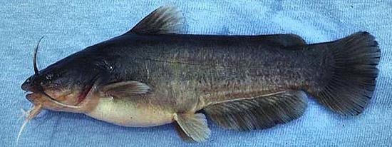 Completely naked catfish. Photo © George Burgess