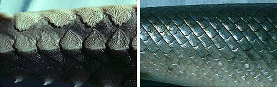 Armor plating (left) and scales (right). Photos © George Burgess
