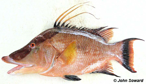 Protrusable example - Labridae (Lachnolaimus maximus) Hogfish