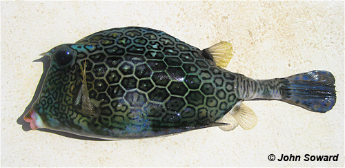 Inferior Example - Ostraciidae (Acanthostracion polygonius) Honeycomb cowfish