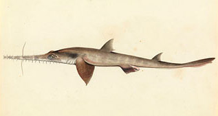 old sawfish sketch
