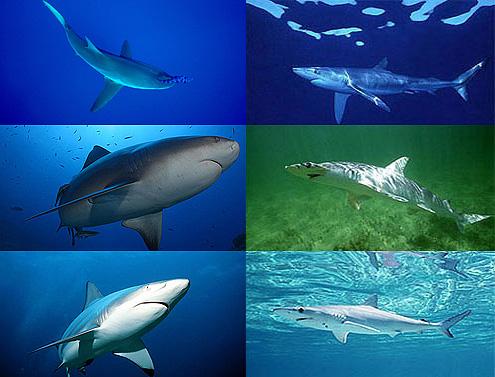 Photos © Florida Program for Shark Research/Florida Museum of Natural History