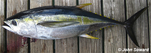 Terminal Example - Scombridae (Thunnus albacares) Yellowfin tuna