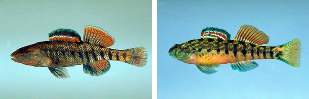 Rainbow darter (left) and Coosa darter (right), family Percidae. Photos © Noel Burkhead