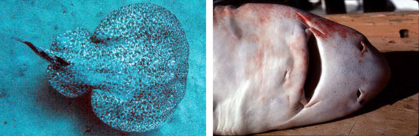 Marbled electric ray, family Amblyopsidae (left), and Roughskin spiny dogfish, family Squatinidae (right). Photos © James L. Van Tassell and George Burgess