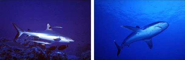 Gray reef shark (left) and Silvertip shark (right), family Carcharhinidae. Photos © Jeremy Stafford-Deitsch