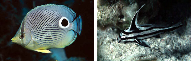 Foureye butterflyfish, family Chaetodontidae (left), and High-hat, family Sciaenidae (right). Photos © Luiz Rocha and David Snyder