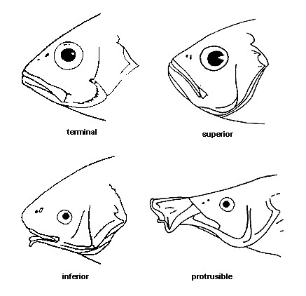 Mouth Types Discover Fishes