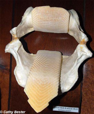 The jaw of a spotted eagle ray