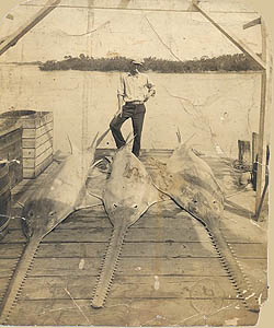 Sawtooth fisherman