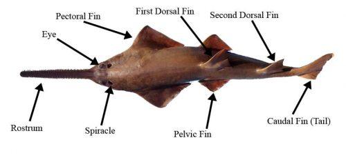 Sawfish Anatomy  U2013 Discover Fishes