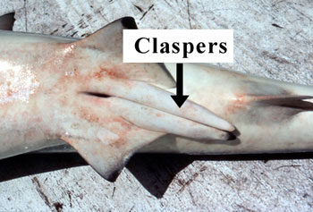 Male shark claspers. Photo © George Burgess