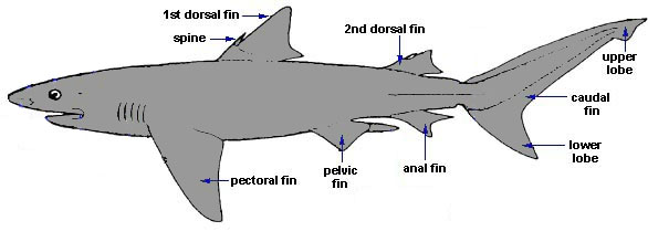 Shark Biology – Discover Fishes