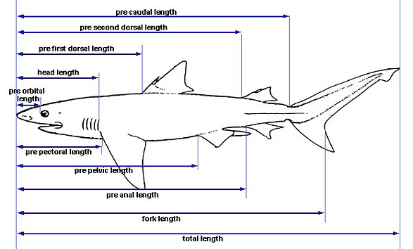 Shark Anatomy – Discover Fishes