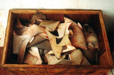 Shark fins. Photo © Tobey Curtis