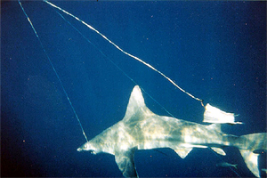 Shark caught on a longline. Photo © Florida Museum of Natural History