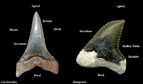Fossil Shark Teeth Discover Fishes
