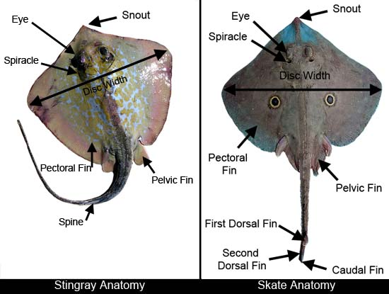 Skate & Ray Anatomy – Discover Fishes