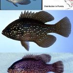 Blue Spotted Sunfish (Enneacanthus gloriosus) Top and middle photo © Noel Burkhead, bottom photo © George Burgess