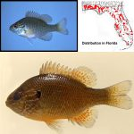 Dollar Sunfish (Lepomis marginatus) Top photo © Noel Burkhead, bottom photo (male specimen) © Lawrence Page