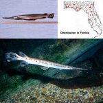 Longnose Gar (Lepisosteus osseus) Top photo © Noel Burkhead, bottom photo: © George Burgess