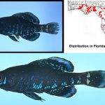 Okefenokee Pygmy Sunfish specimens and range map
